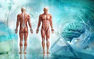 corpo umano Sistema Muscolare